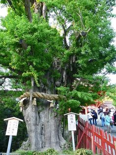 The 1000-year-old ginkgo tree at Tsurugaoka Hachimangu Shrine, Kamakura Japan