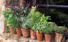 Grow herbs planning a herb garden how to in the can you mason jars planting pots . grow herbs in pots indoors Growing Tomatoes, Growing Herbs, Growing Vegetables, Growing Flowers, Fall Perennials, Growing Raspberries, Gardening Photography, Types Of Herbs, Plants