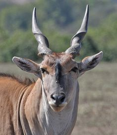 common eland - Google Search