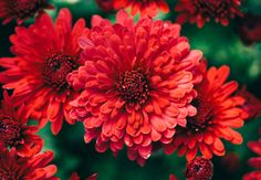 Verlängern Sie den Sommer, indem Ihr Blühpflanzen zeitlich so kombiniert, dass euer Garten selbst nach dem August noch bunt blüht. Stauden wie Astern, Chrysanthemen und Herbstanemonen leuchten im Herbst richtig auf.