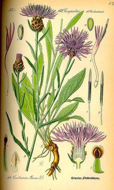 Centaurea jacea L. Thomé, O.W., Flora von Deutschland Österreich und der Schweiz, Tafeln, vol. 4: t. 594 (1885) family:Compositae