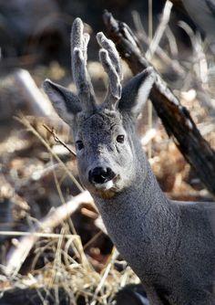 Capriolo (Foto di M.Speziari) nei boschi del Centro Faunistico gestito dall'Associazione Uomo e Territorio Pro Natura (www.uomoeterritoriopronatura.it).