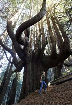 - On a steep hillside along the spectacularly rugged Mendocino County coast, is an 11-acre grove of ancient redwood trees with twisted trunks and branches that shoot out wildly in all directions as if frozen in the middle of a conniption fit. The contorted trees, most of which are 500 years old, survived only because their bent wood could not be turned into lumber, and they are a biological gold mine to conservationists.