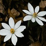 BLOOD ROOT - Sanguinaria canadensis (Seeds per Packet: 12+) Bloodroot prefers shaded, moist woodlands and is native to North America. Blood root is also endangered. It is one of the first to appear in spring, with delicate white flowers and a distinctive