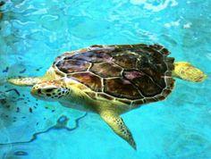 Sea turtle at the Georgia Sea Turtle Center (Jekyll Island, GA)