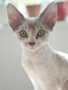 from A Future Present blog - Baby Moses  a Cornish Rex kitten