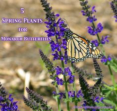 5 Spring Plants that could Save Monarch Butterflies. Support Spring Monarchs with your Butterfly Garden.