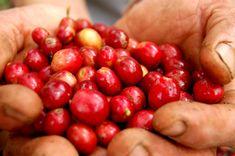 Coffee berries, fresh-001 - Third wave of coffee - Wikipedia, the free encyclopedia
