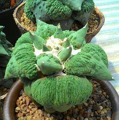 ariocarpus retusus cauliflower