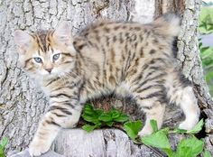 American bobtail the cat fanciers' association . American bobtails are loving and incredibly intelligent cats possessing a distinctive wild appeara. Cute Kittens, Manx Kittens, Cats And Kittens, Bobcat Kitten, Cats Meowing, Fluffy Cat Breeds, Cute Cat Breeds, Gato Bobtail, Kitty Cats