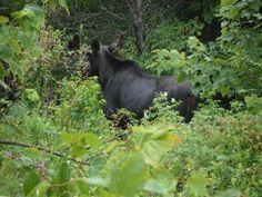 Moose/Maine/Millinocket.