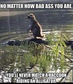 raccoon-riding-alligator - LOLDAMN.com