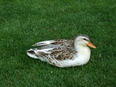 Silver Appleyard Ducks pictures - Google Search