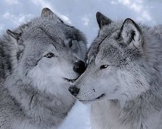 awwww... wolves are so cool!