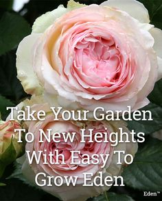 Captivating Why Rose Gardening Is So Addictive Ideas. Stupefying Why Rose Gardening Is So Addictive Ideas. Garden Shrubs, Garden Plants, Beautiful Roses, Beautiful Gardens, Gardening Tips, Organic Gardening, Flower Gardening, Flowers Garden, Indoor Gardening