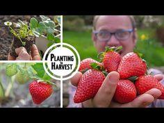 undefined Veg Garden, Fruit Garden, Grow Strawberries, Grow Your Own Food, Grow Food, Garden Planner, Square Foot Gardening, Urban Farming, Fruit And Veg