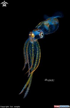 Squid in Anilao Batangas - Philippines Beautiful Sea Creatures, Deep Sea Creatures, Animals Beautiful, Animal Lover Tattoo, Et Tattoo, Underwater Animals, Underwater Photography, Nature Animals, Rare Animals