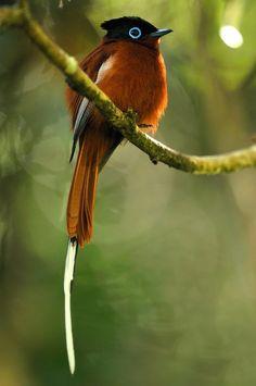 madagascar paradise flycatcher photo by gergely lantai-csont