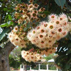 Gum blossom corymbia ficifolia Bouquets, Dandelion, Garden, Artist, Flowers, Plants, Photography, Garten, Photograph