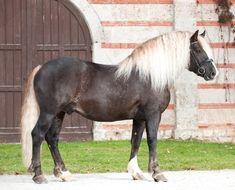 flaxen liver chestnut - Black Forest Horse stallion Rotenberg