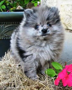 Blue Merle Pomeranian Puppy Probably the only dog if consider having, some cute blue Merle Pomeranian or a pomsky. Blue Merle Pomeranian, Pomeranian Puppy, Pomeranian Colors, Teacup Pomeranian, Cute Puppies, Cute Dogs, Dogs And Puppies, Doggies, Cute Baby Animals