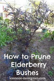 Less Noise, More Green: Pruning Black Lace Elderberry Bushes - gardening - Health Idea Bush Garden, Garden Shrubs, Diy Garden, Shade Garden, Dream Garden, Garden Care, Garden Beds, Garden Pallet, Garden Sofa