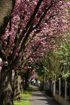 Japanese Cherry Trees - Mainz, Germany