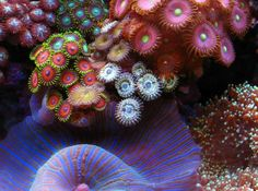 Zoanthids are some of the most beautifully colored corals
