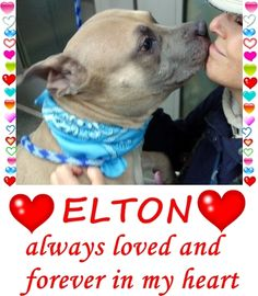 MURDERED 5-12-2016  --- Manhattan Center  My name is ELTON. My Animal ID # is A1072507. I am a male tan and blue am pit bull ter and american staff mix. The shelter thinks I am about 3 YEARS old.  I came in the shelter as a STRAY on 05/04/2016 from NY 10474, owner surrender reason stated was STRAY. http://nycdogs.urgentpodr.org/elton-aka-hazel-a1072507/
