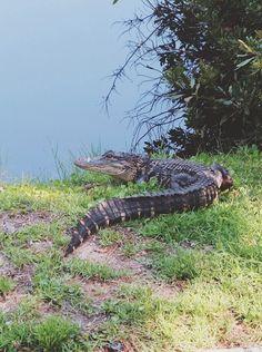 Alligator on Hilton Head Island. #MyIslandTime