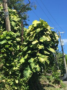 Epipremnum Pinnatum, Pothos Plant, Garden Design, Environment, Landscape, Natural, Plants, Ideas, Scenery