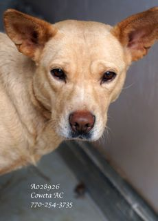 ***EXTREMELY URGENT! Lab Retr/Terr Mix Female Adult Medium •ID: A028926 •Vaccinated, Heartworm Status (unknown) •Mom to pups: A028928, 29, 31 (pups out of shelter)PLEASE CONTACT COWETA COUNTY ANIMAL CONTROL TO ADOPT THIS PET: 770-254-3735. 91 Selt Road, Newnan, GA. This beautiful girl is cautious (poor thing)l. Brought to shelter as a stray w/ pups. We're working w/ her -now taking food from hand, letting us scratch her chin. Time, patience & tender loving care is what she needs.