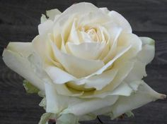 by Robert Haynes Gum paste rose!