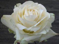 by Robert Haynes Gum paste rose!