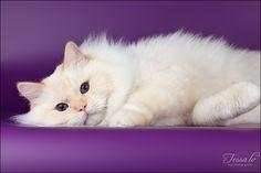 Purple + persian = Perfect.