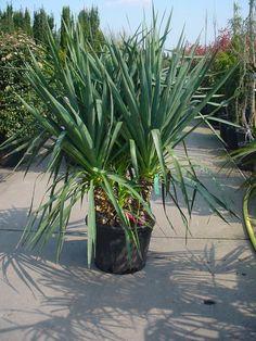 Yucca gloriosa / Kerzen-Palmlilie / Spanischer Dolch – schöne Zierpflanze, die bis zu 300cm hoch wird mit bis zu 50cm langen, Blätter und essbaren Früchten