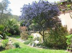 Image result for Ceanothus 'Concha'