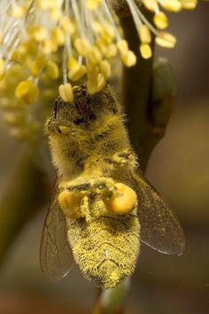 L'abeille récolte le pollen sur les fleurs | The bee harvesting pollen on flowers | La recolección de polen de abejas en las flores