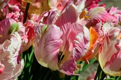 Love the colors!  Filoli Ruffled Tulips photo taken by pictureted via Flickr
