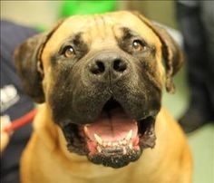 4-Year-Old Fawn Male Boerboel for Adoption on the East Coast -- He's a sweet boy that gets along with other dogs, and loves attention.