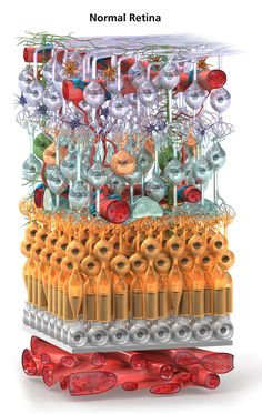 Illustration of a human retina at the cellular level by Diana Saville and Emily Cooper