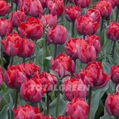 """Outstanding scarlet red tulip with a peony look flower. Its very large flower creates a magnificent display in any garden. Variety Double Late Tulip Flower Period Late Spring Flowering Height 14""""/35cm"""