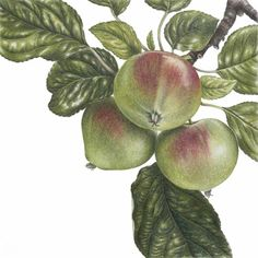 Ann Swan – The Society of Botanical Artists