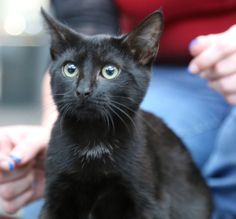 Midnight is beautiful black with a patch of white on her lower belly. She would be perfect for an older couple or a house with small animals. She is fine being handled by small children.  She was born around 5/21/13. My daughter found her at her...