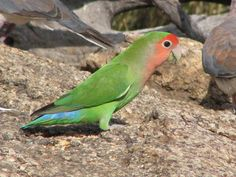 Peach-faced lovebird - Wikipedia    Species of lovebird native to arid regions in southwestern Africa such as the Namib Desert.