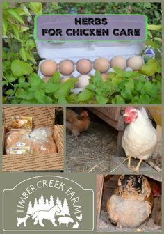 The best herbs for chicken care.