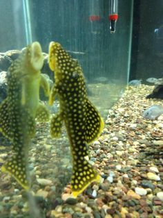 She's my new addition to the tank! A Gold Nugget Pleco. Plecostomus, Fish, Pets, Gold, Animals, Animales, Animaux, Pisces, Animal