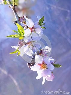 Almond branch with flowers and leaves. Springtime tree blossom.