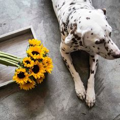 #flowers #flow #new #love #comingsoon #nice #picoftheday #bloom #startup #mexico #deliver #bike #flores #cool #beuatiful #happy #smile #friends #instacool #sunflower #girasol #seventina #dalmatian