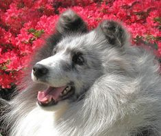 BluValley Shelties - Studs  page